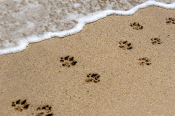 pets_paw_prints_in_sand