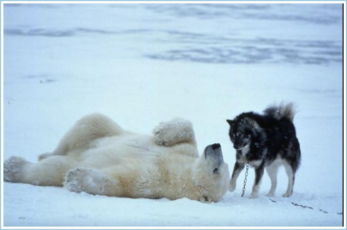 polar bears and sled dogs play… | Have dog blog will travel