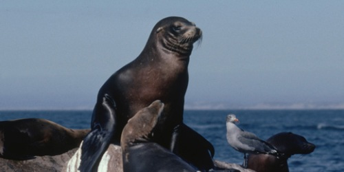 California_sealion-1