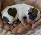 heart_shaped_dog_139x119-1