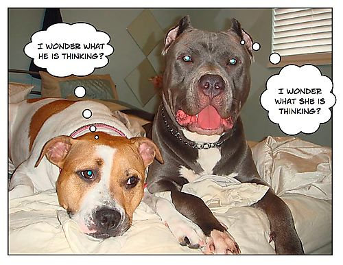 Pitbull Funny Pictures