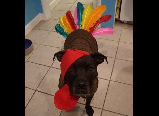 Huffingtonpost 2010 11 23 Dogs Dressed Like Turkeys N 786977s188391