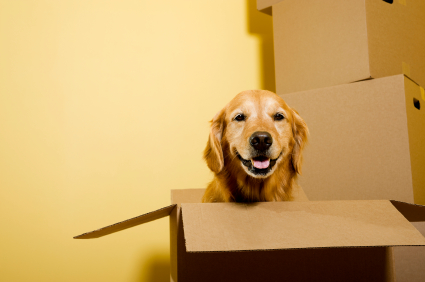 Moving - Golden Retriever