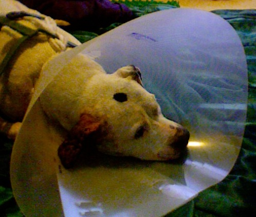 Image Result For Dog Infected